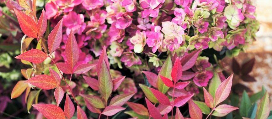 Tuinplant van de maand oktober: Leucothoe!  Lees meer>>